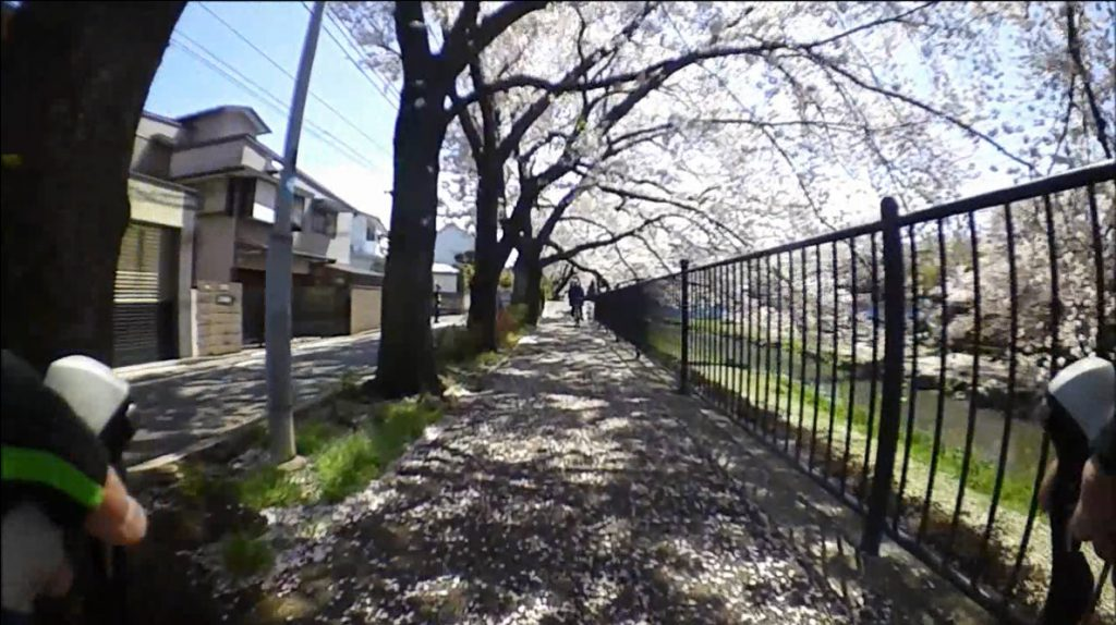 2017野川 桜